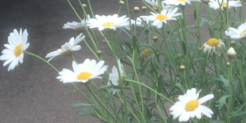 marguerite white standard cropped